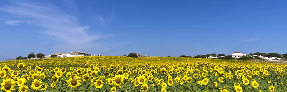 Campos de girasoles en Conil (Cádiz)