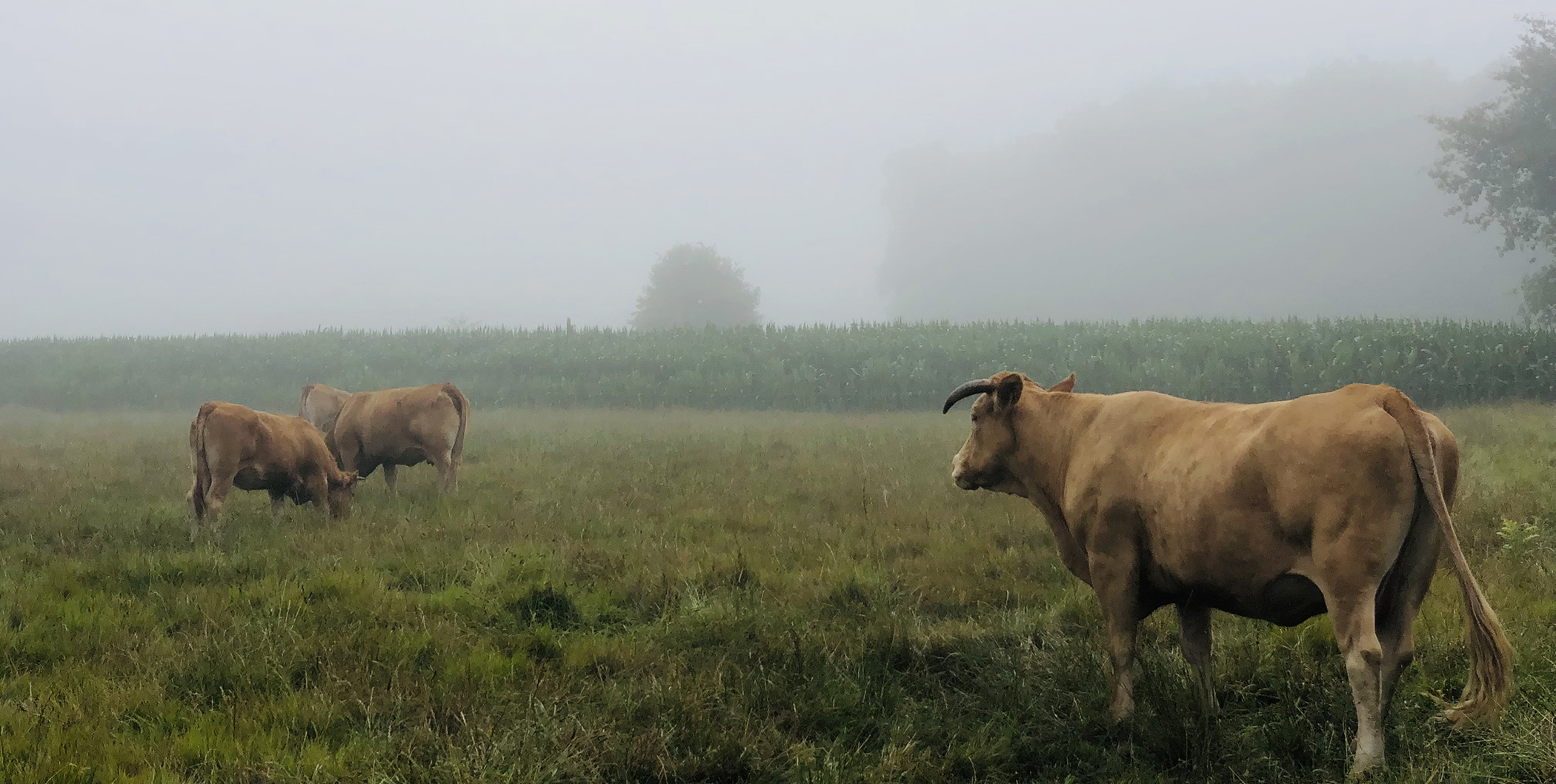 Vacas pastando en el Camino de Santiago