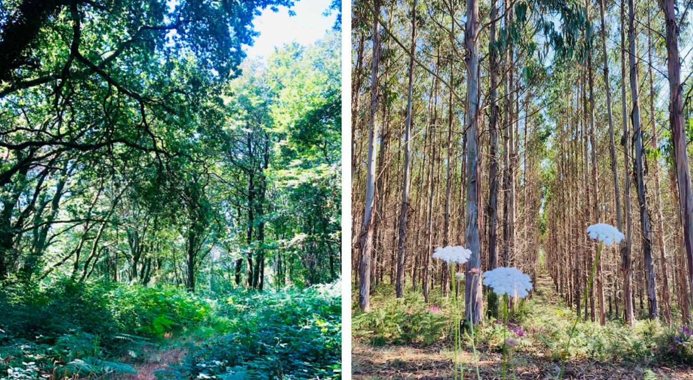 Bosques en el Camino de Santiago entre Portimarín y Palas de Rei